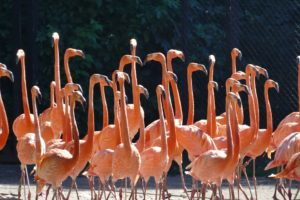 flamingo-1593688_1920